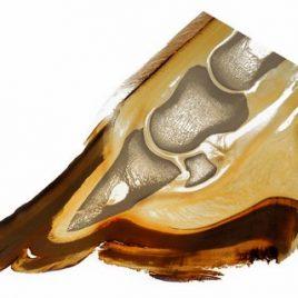 Equine hoof anatomy print