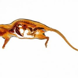Rat with mating plug anatomy print
