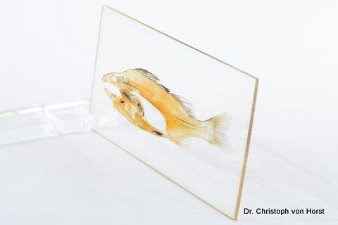 285b_fish_perch_anatomy