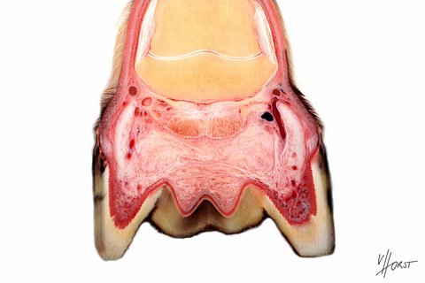 Horse hoof cartilage and hoof cushion anatomy