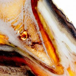 Equine laminitis coffin bone print
