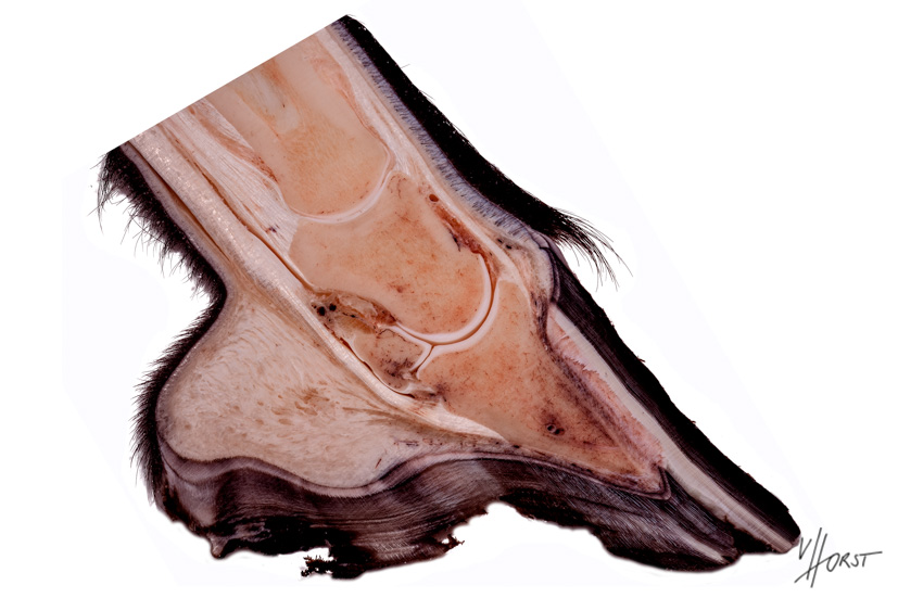Equine distal limb with horn capsule, coffin, bone, tendons, etc.