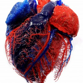 Heart vascularisation anatomy print