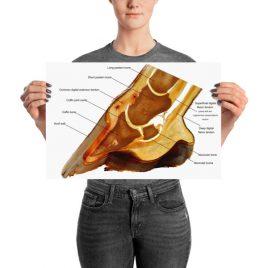 Horse hoof anatomy chart poster